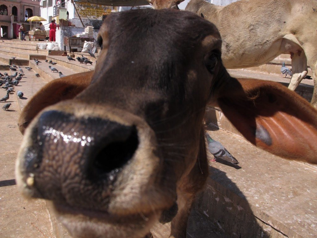 Cows in India 1