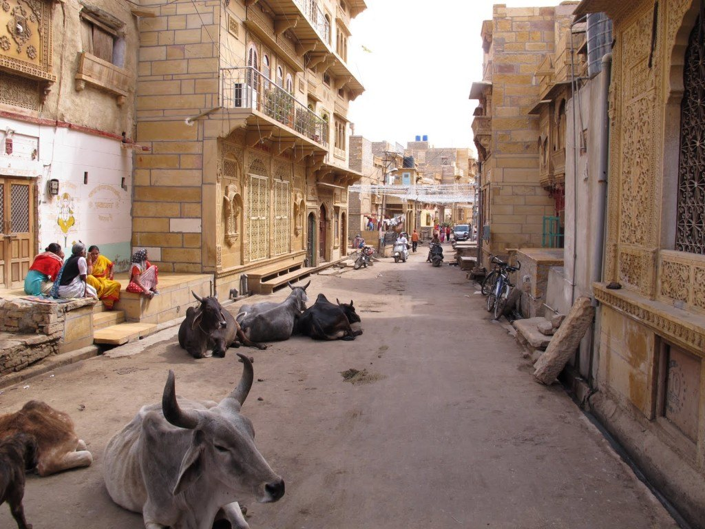 Cows in India 4