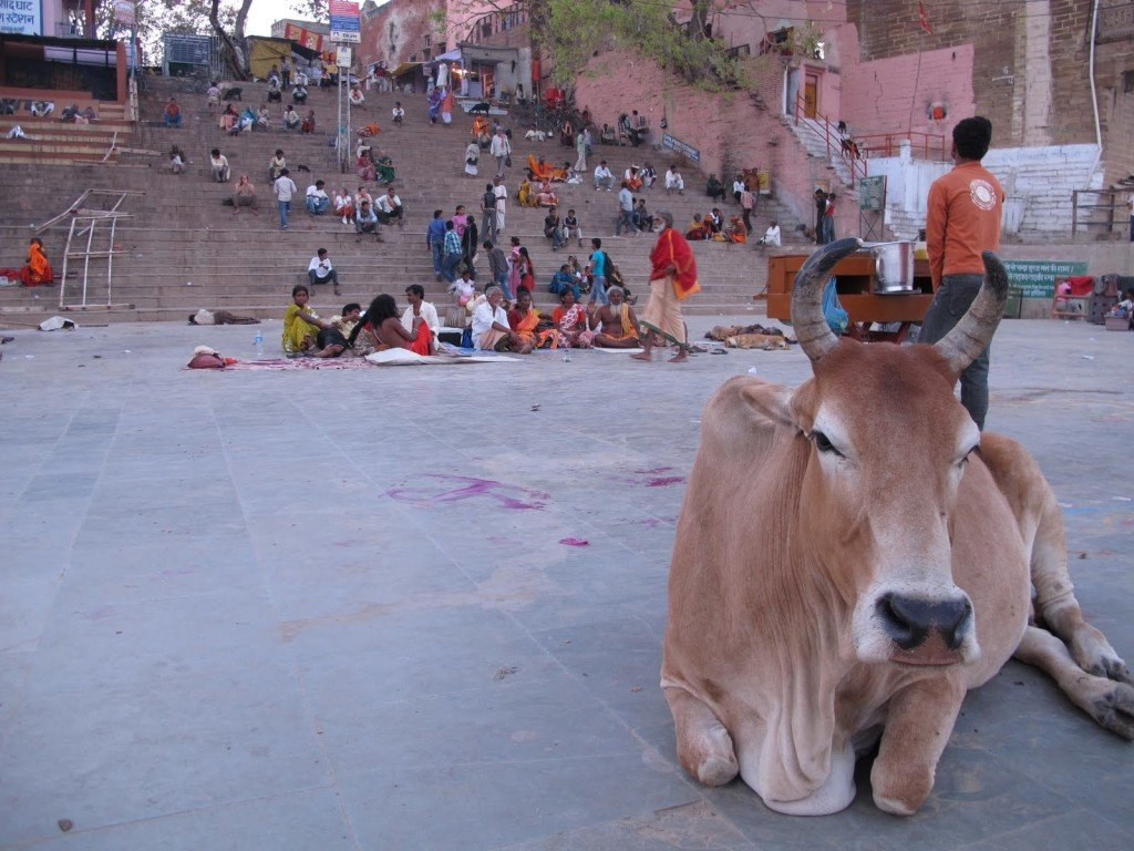 Cows in India 5