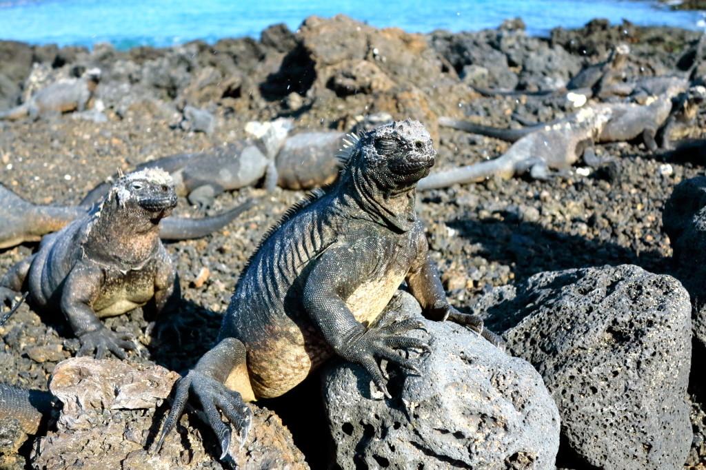 Iguanas in Galapagos