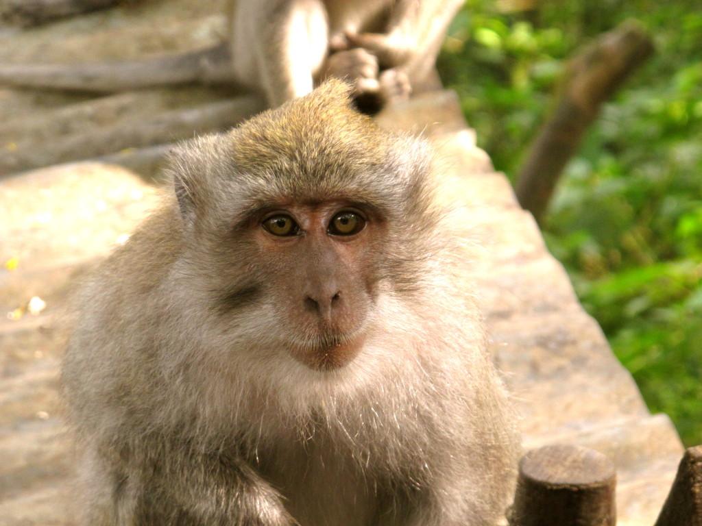 Monkey in Indonesia