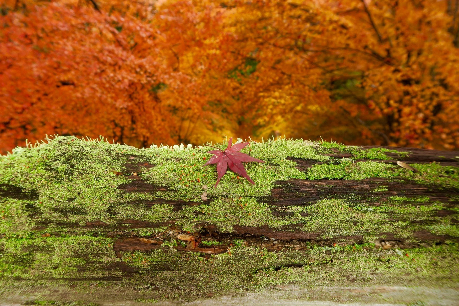 where to find autumn leaves in central Japan