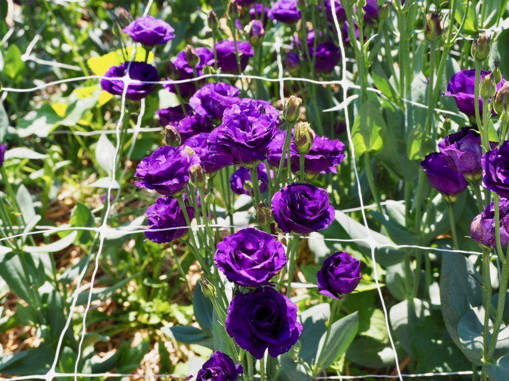 Miss Millie's flower farm Manitoba