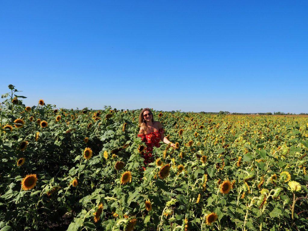 Sunflower Expo A Maze in Corn Manitoba