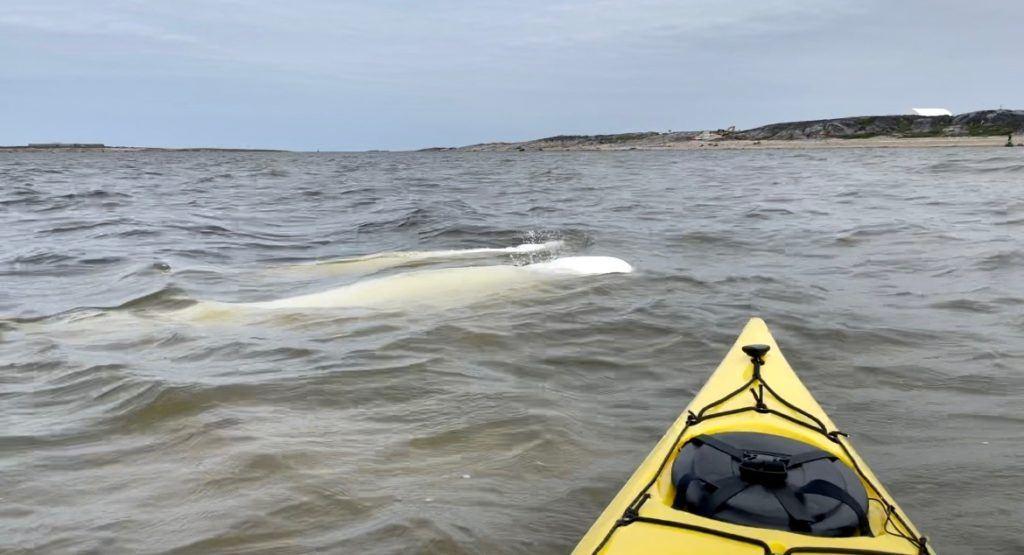 Kayaking with belugas in Churchill