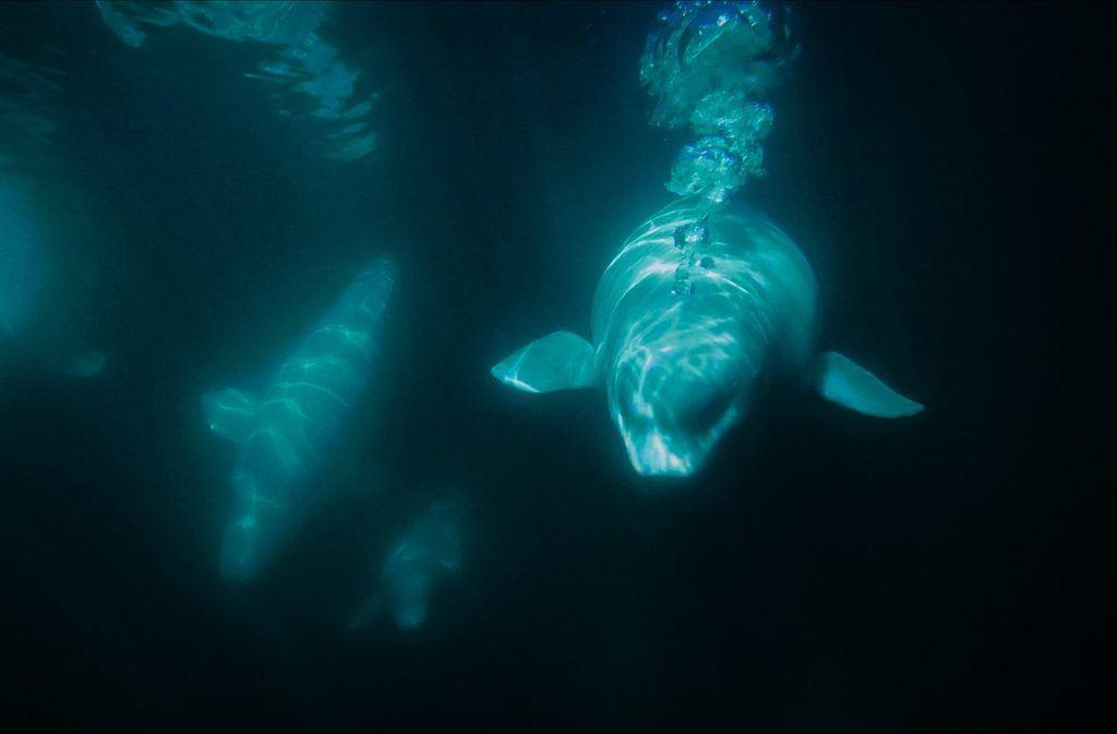 Beluga whales underwater in Churchill