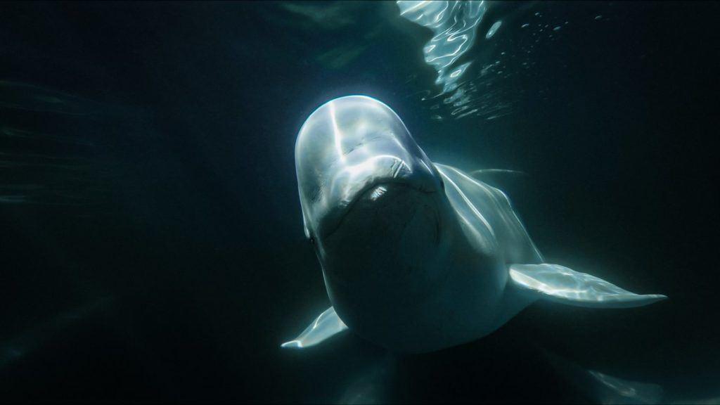 Underwater image of beluga whale in Churchill