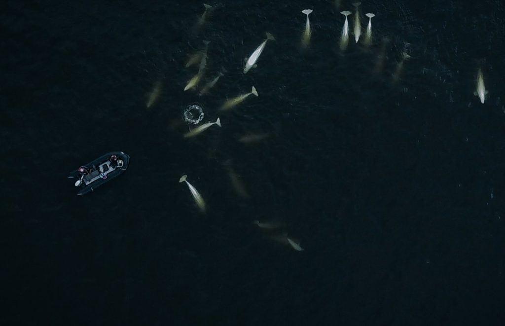 Beluga whales around boat in Churchill