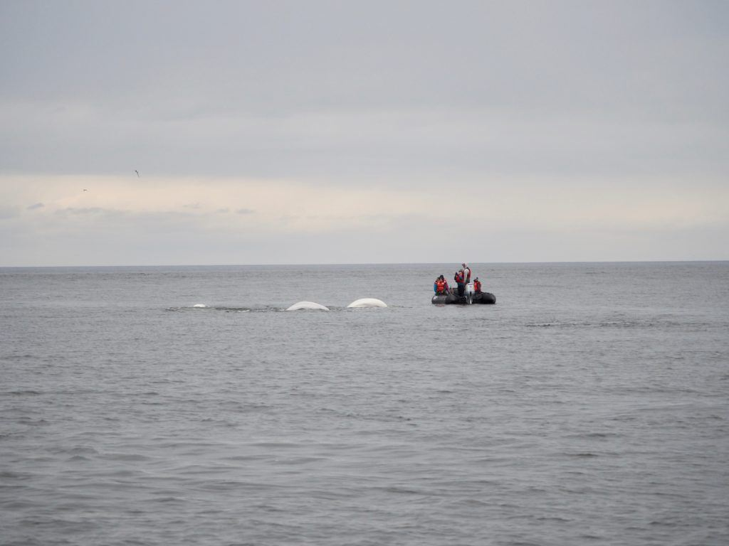 Boat with beluga whales in Churchill