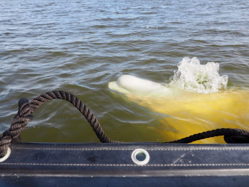Beluga whale coming up for air in Churchill Manitoba