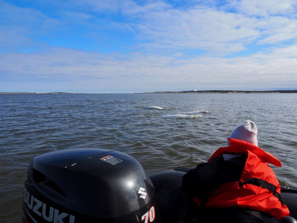 How to see Beluga Whales in Churchill Manitoba