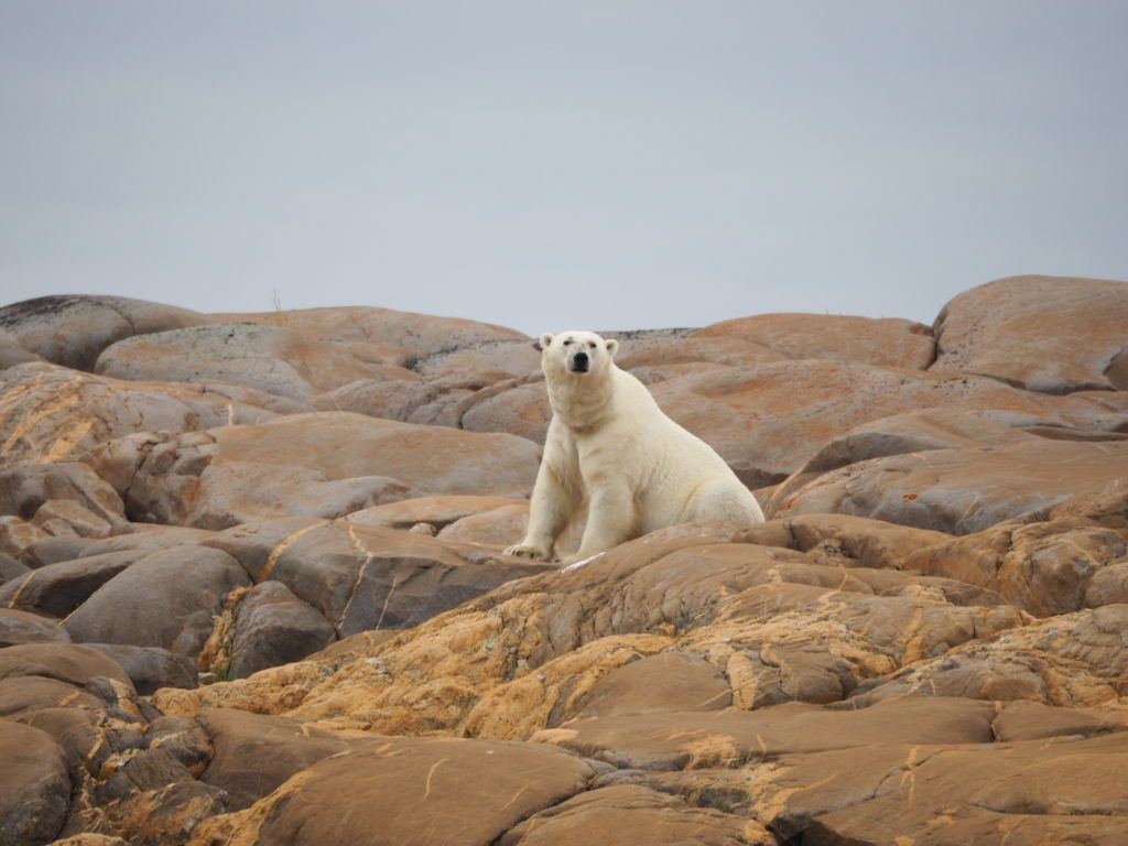 Polar bear sighting in Churchill, Manitoba