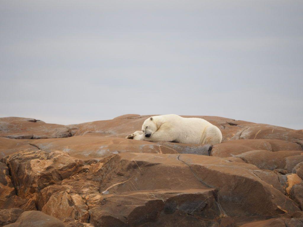 Polar Bear sleeping in Churchill, Manitoba